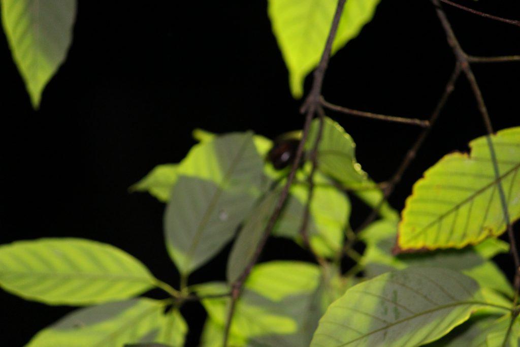 林試の森公園 - カブトムシ?