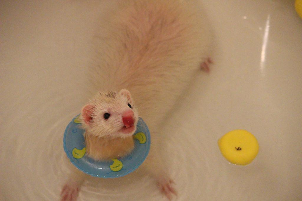 フェレットお風呂