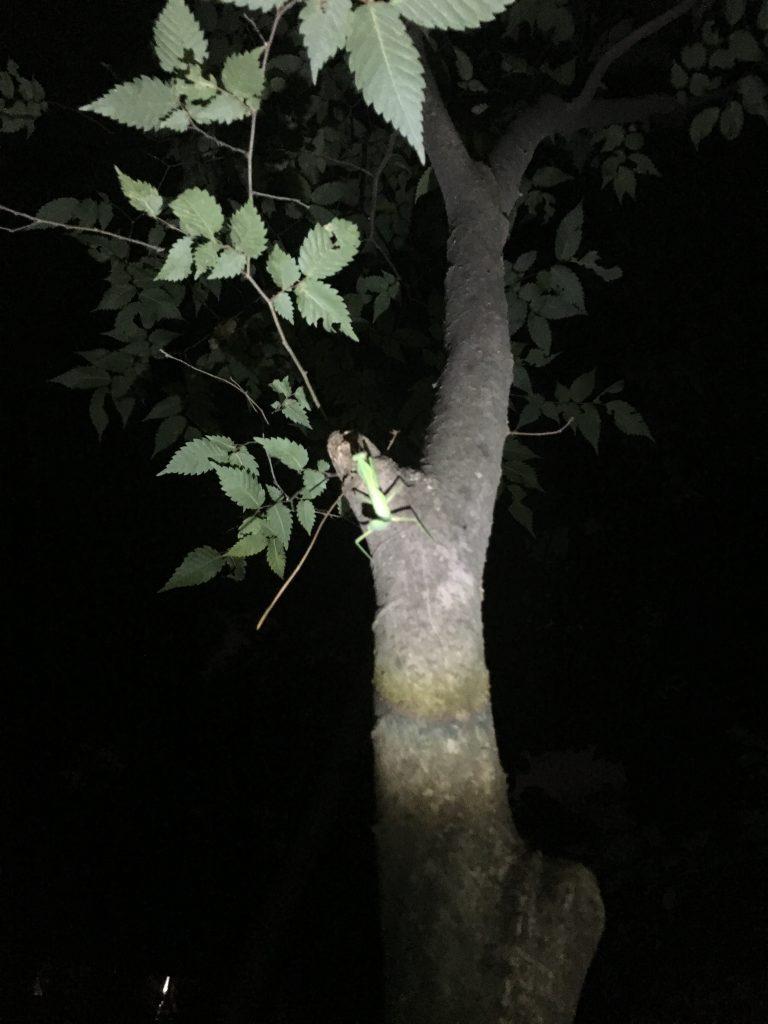 木の上のカマキリ