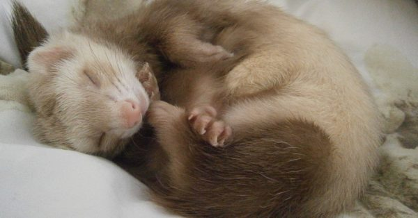 寝ているフェレット