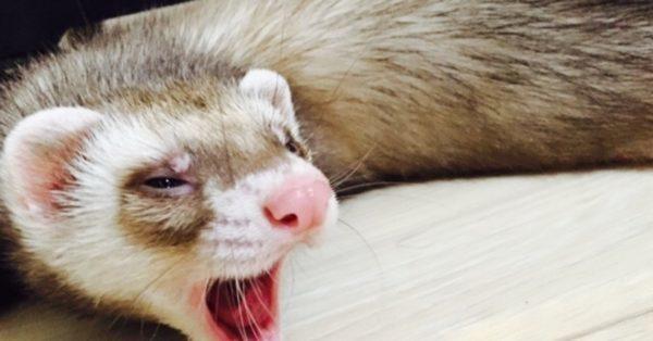フェレットがあくびをする理由!眠い時だけではない?保定やしつけ時にも