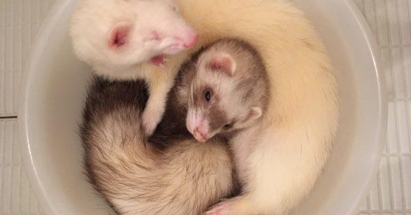 洗面器でくつろぐ2匹のフェレット!そこで寝てるの?