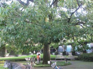 砧公園カブトムシ
